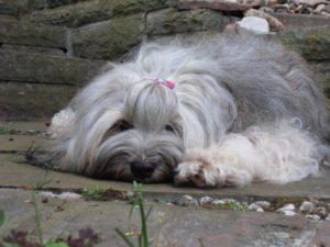 Tibet Terrier Clt Tibethunde